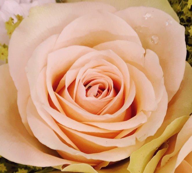 peach_rose